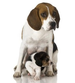 Beagle Mother and Puppy